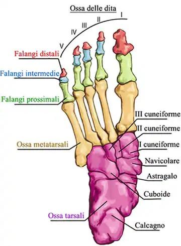 La struttura ossea e la fisiognomica del piede.