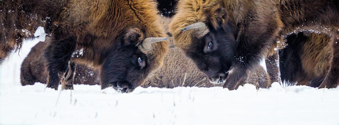 il bisonte selvatico tornerà a popolare le foreste inglesi